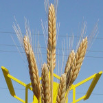 Giant Wheat Stalks